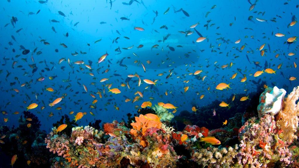 Maldives showing coral and marine life
