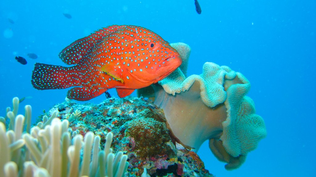 Maldives featuring marine life and coral
