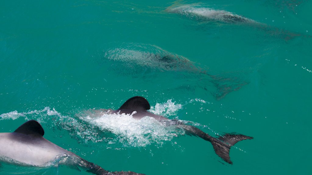 Akaroa featuring marine life and a bay or harbor