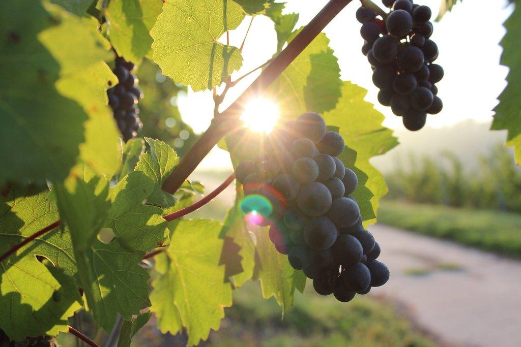 nature-plant-grape-vine-vineyard-bunch-1062577-pxhere.com.jpg?1557826655
