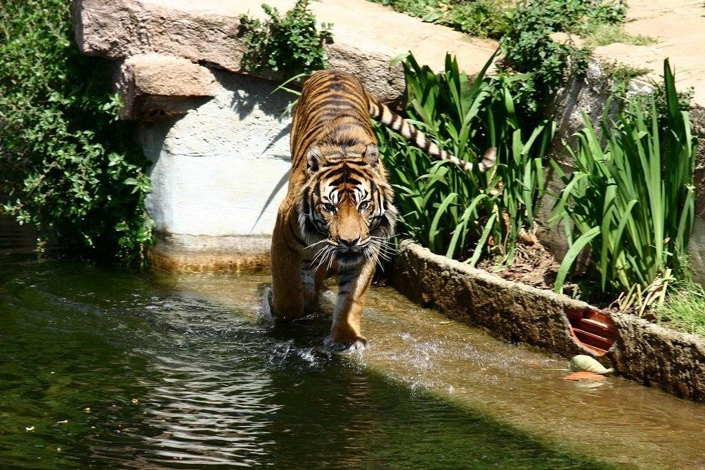 Barcelona.Zoologico.Tigre.jpg?1569328055