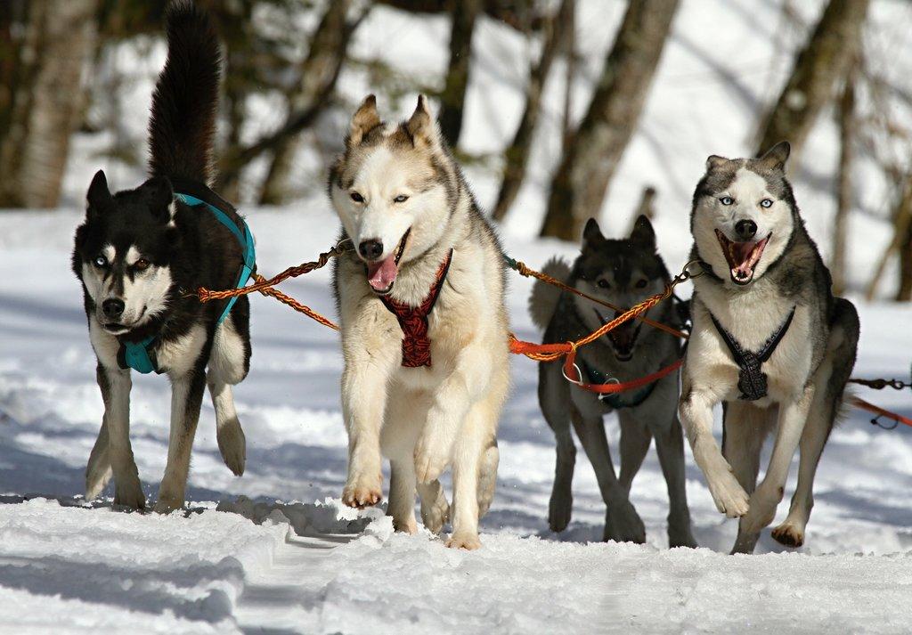 huskies-273409_1920.jpg?1571311172