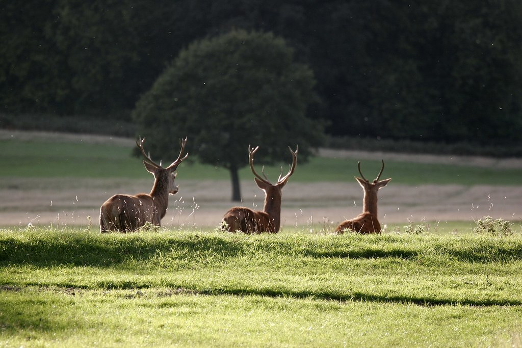 1620px-Richmond_Park_-_London_-_England_-_02102005.jpg?1571919726
