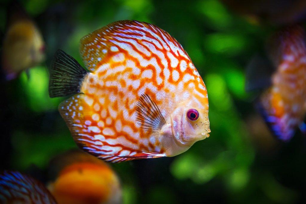 discus-fish-1943755_1920.jpg?1572380998
