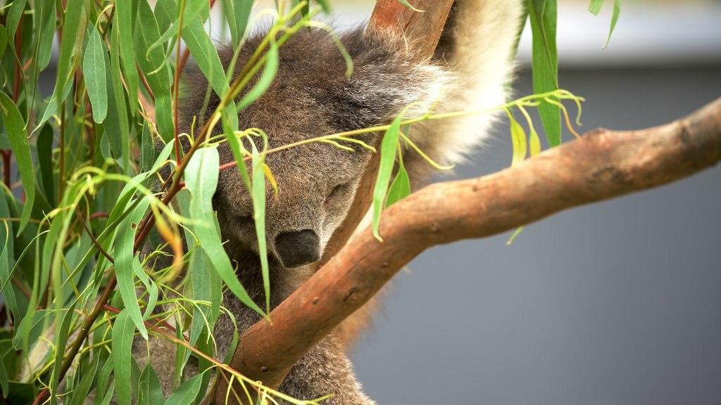 Healesville Wildlife Sanctuary mostrando animales tiernos