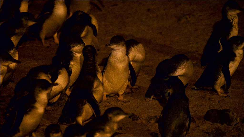 Penguin Parade featuring bird life and a beach