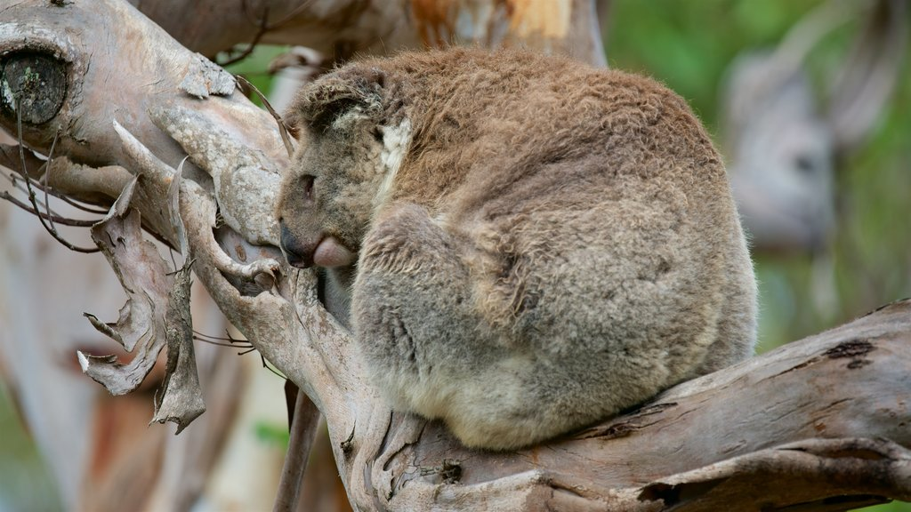 Phillip Island which includes zoo animals and cuddly or friendly animals