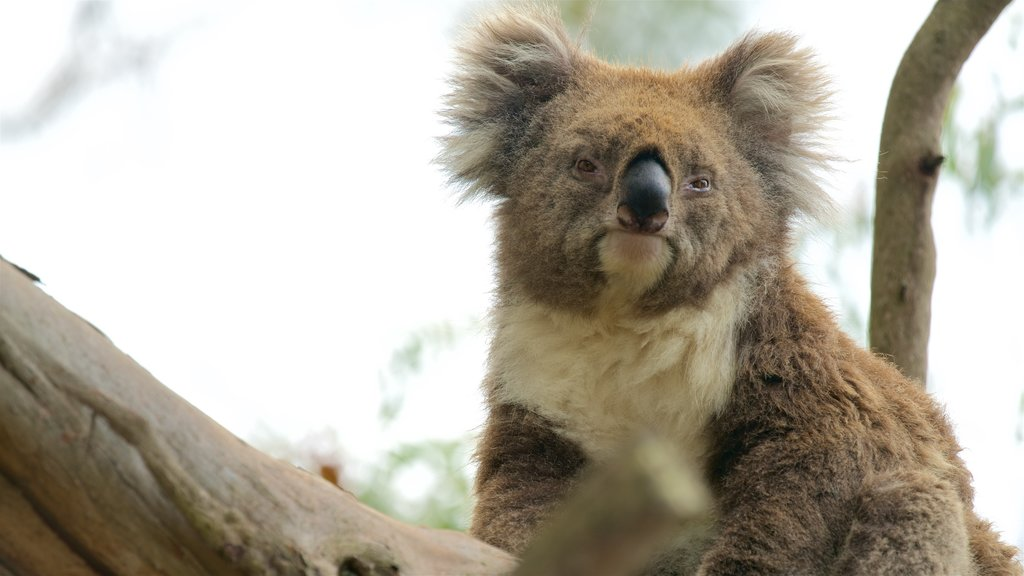 Phillip Island which includes cuddly or friendly animals and zoo animals