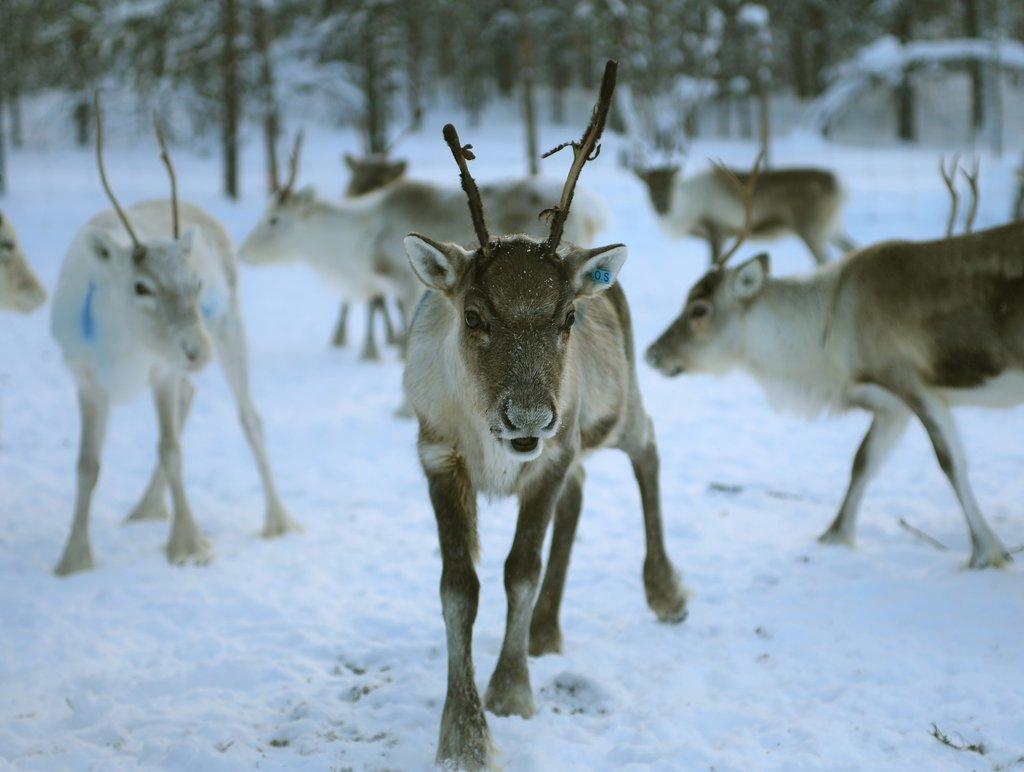 laponie_reindeer-4755829_1920.jpg?1578937539