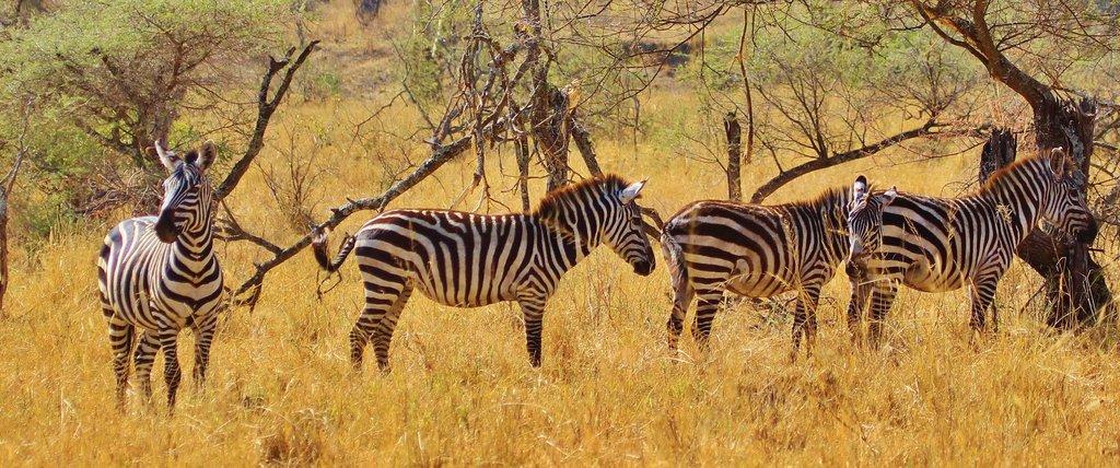 zebra-278371_1920.jpg?1585909442