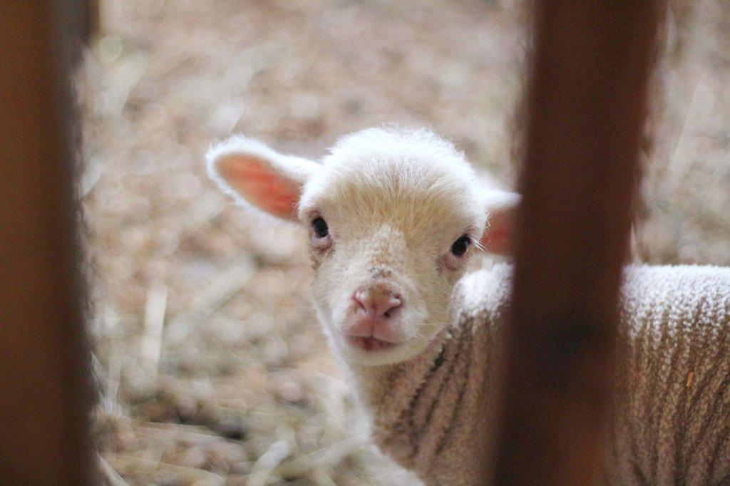 Lamb.jpg?1587743353
