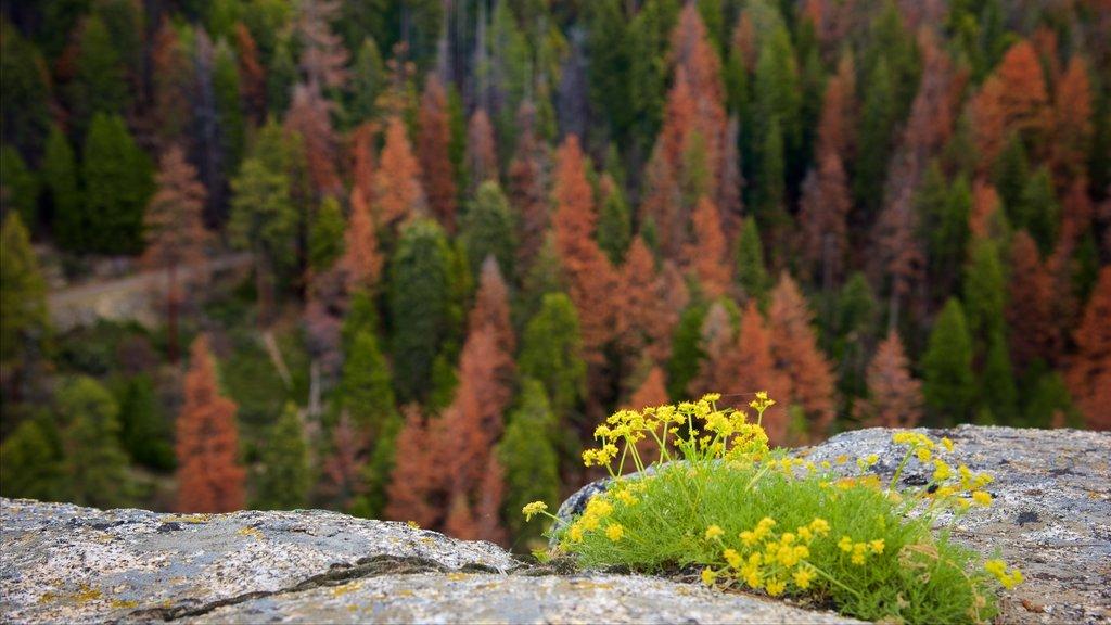 Sequoia National Park ofreciendo escenas forestales y flores