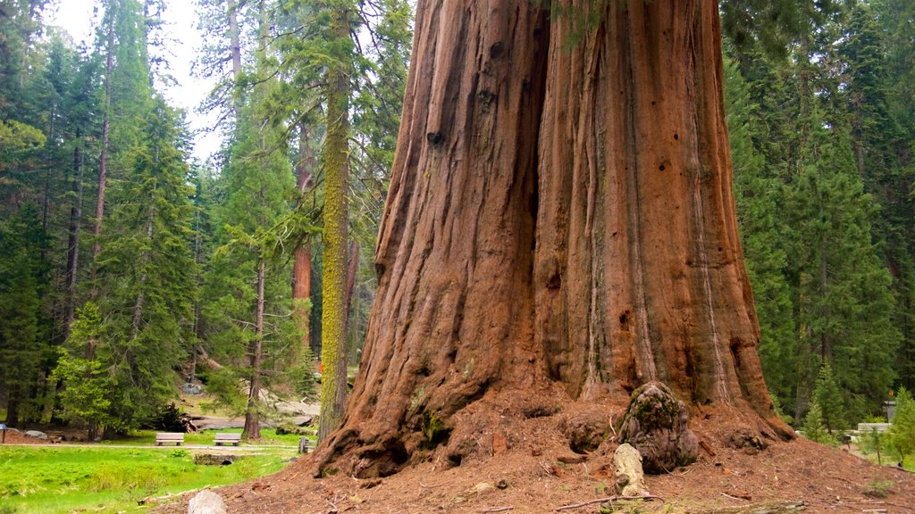 Sequoia National Park featuring forests
