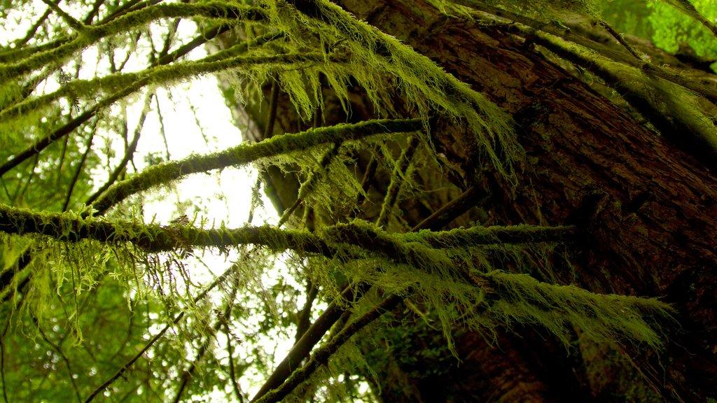 Parque nacional y parques estatales de Redwood que incluye bosques