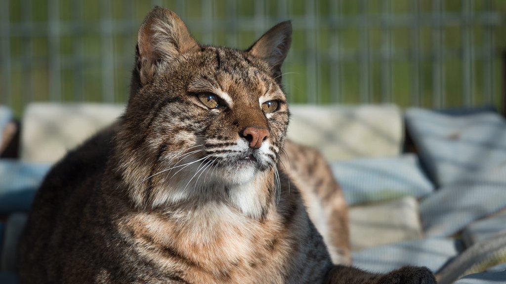 Refugio de Vida Salvaje Turpentine Creek mostrando animales del zoológico y animales peligrosos