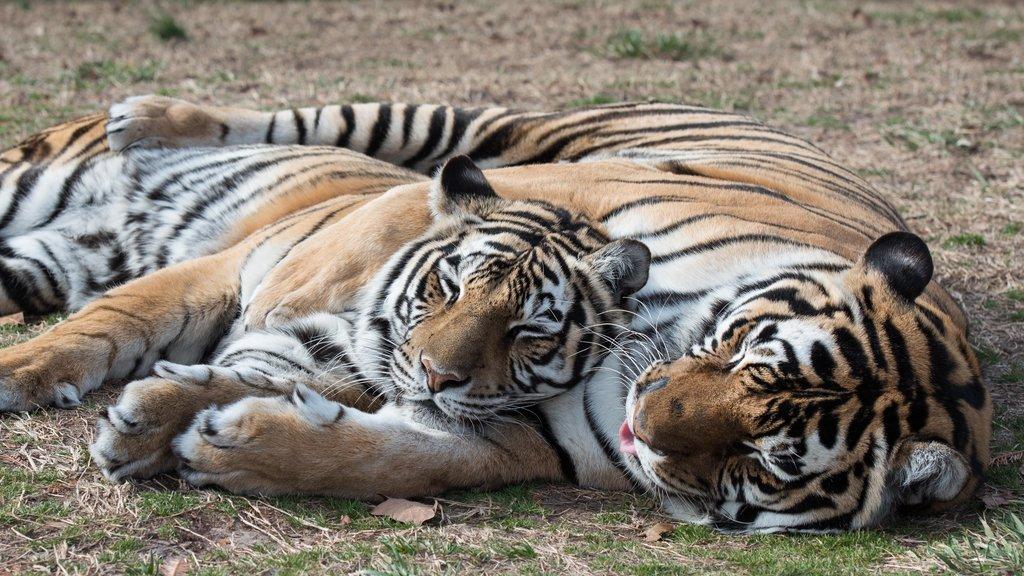 Turpentine Creek Wildlife Refuge showing dangerous animals and zoo animals