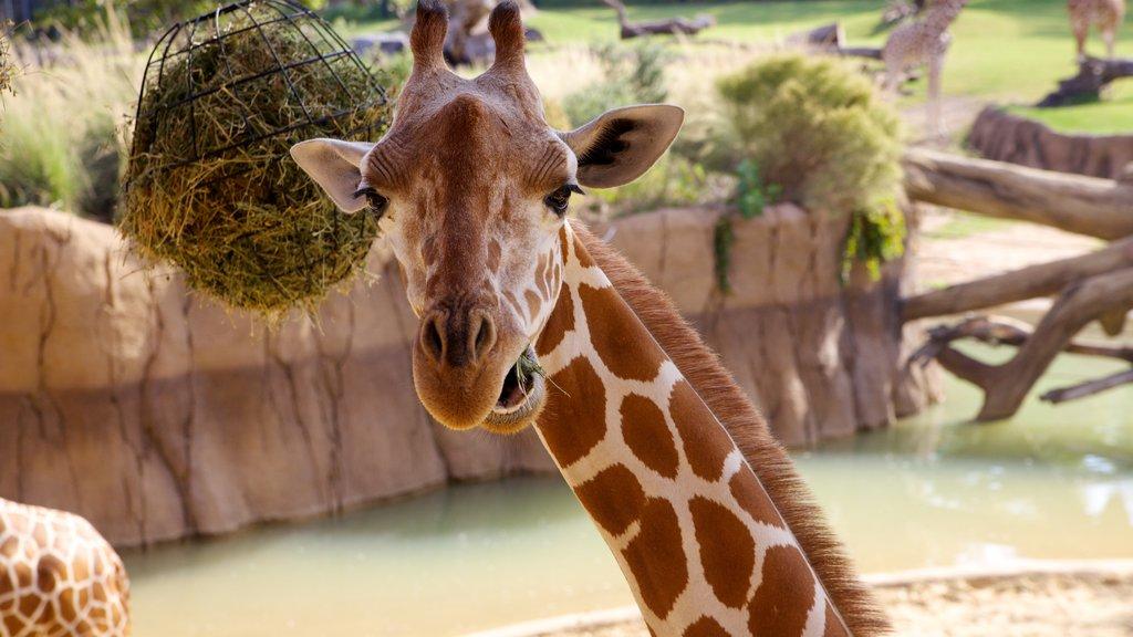 Dallas ofreciendo animales del zoológico