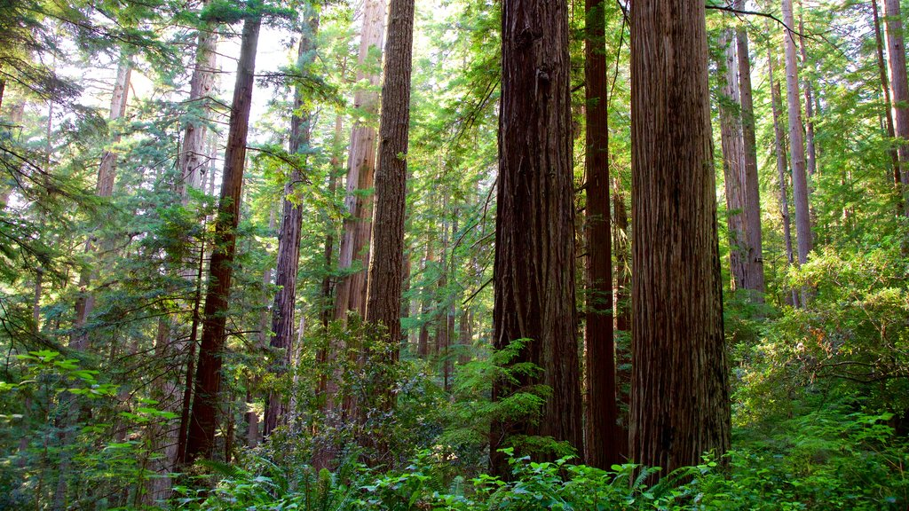 Redwood National and State Parks showing forest scenes