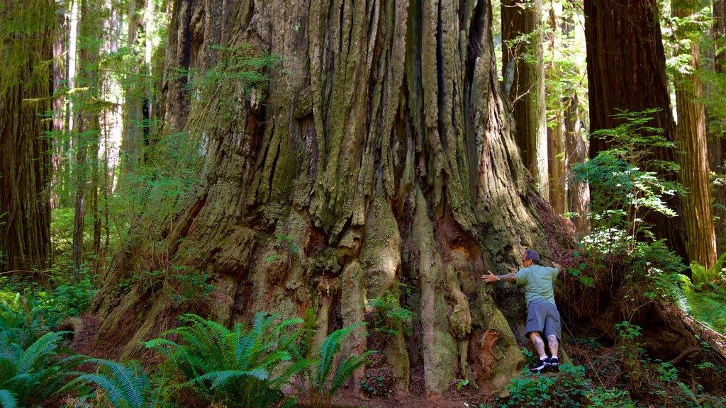 Parque nacional y parques estatales de Redwood ofreciendo bosques y también un hombre