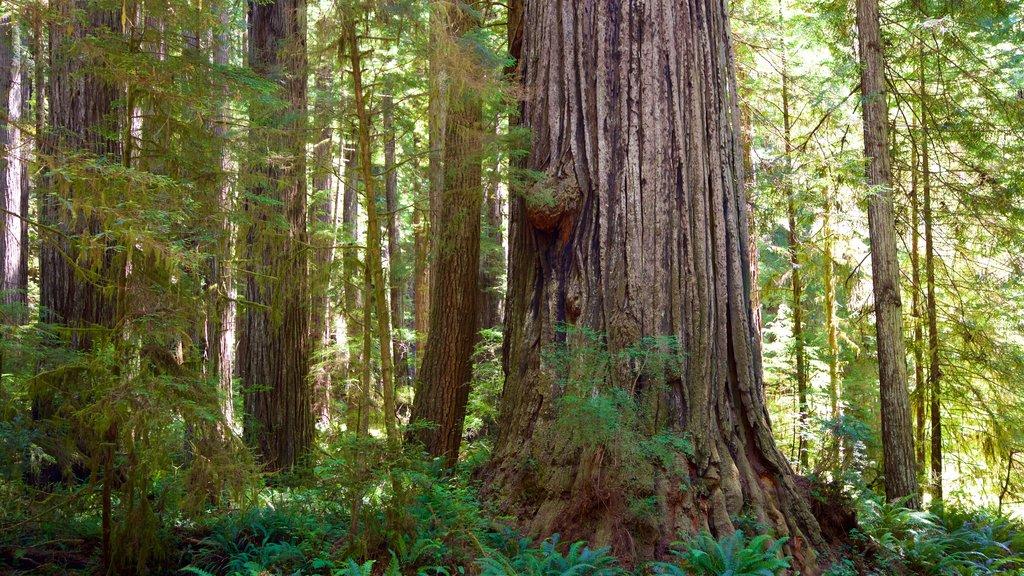 Parque nacional y parques estatales de Redwood ofreciendo escenas forestales