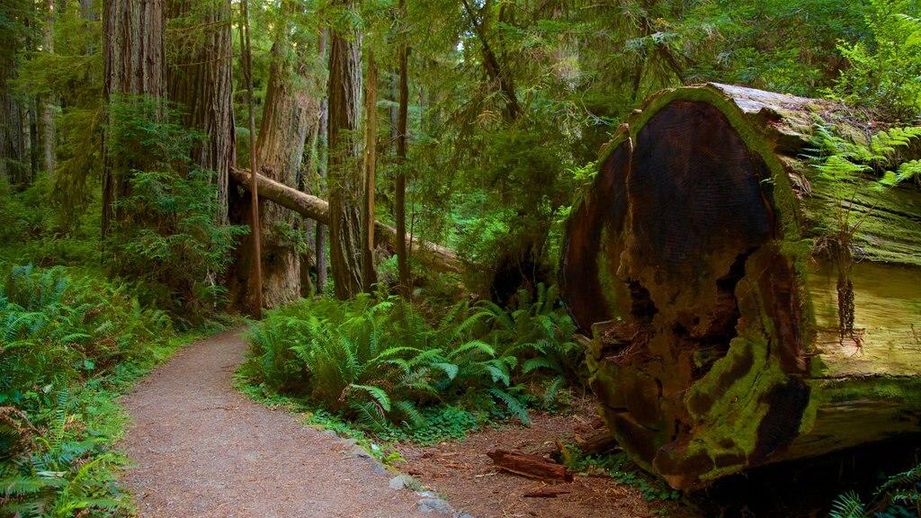 Parque nacional y parques estatales de Redwood mostrando bosques