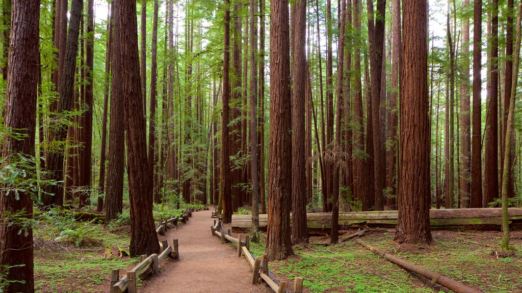 Armstrong Redwoods State Park featuring forest scenes