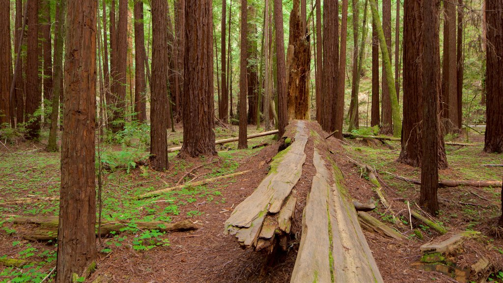 Armstrong Redwoods State Park showing forests