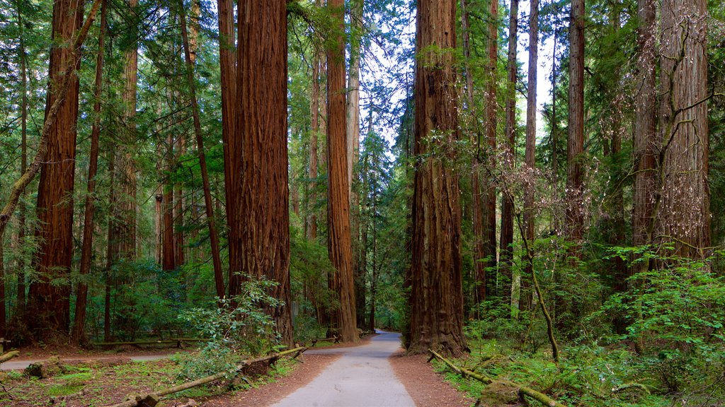 Armstrong Redwoods State Park which includes forest scenes