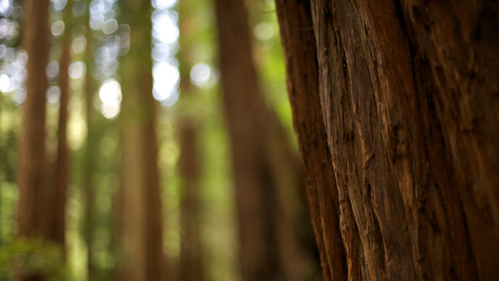 Muir Woods featuring forests