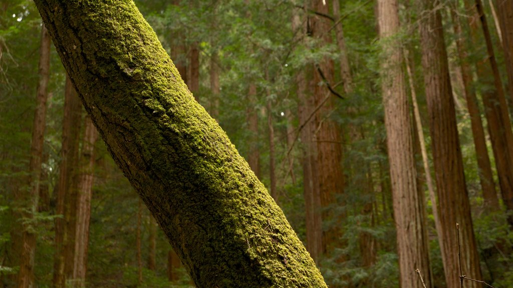 Muir Woods showing forests and landscape views