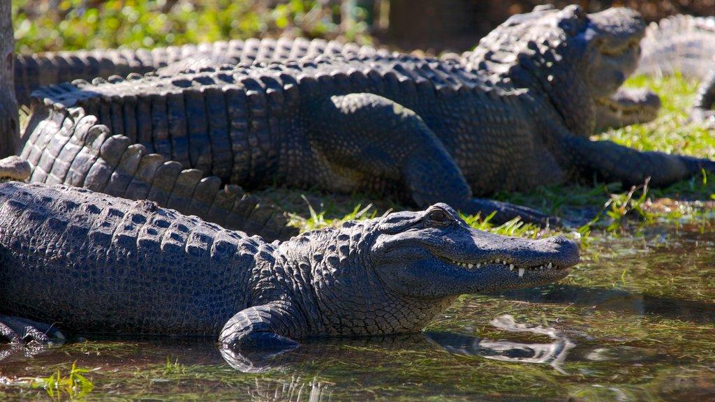 Gatorland showing zoo animals and dangerous animals