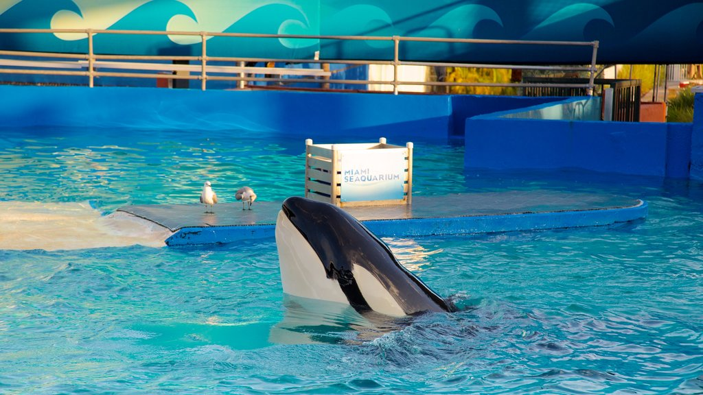 Miami Seaquarium featuring whale watching, marine life and a pool