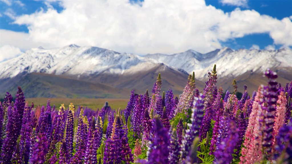 Lake Tekapo showing snow, mountains and wildflowers