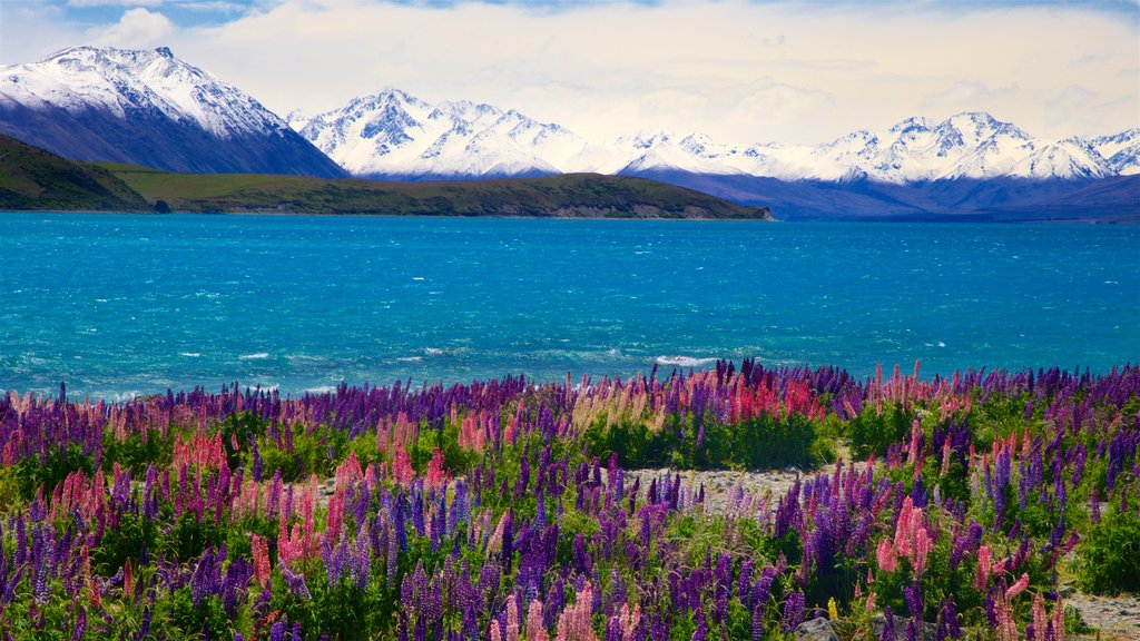 Lake Tekapo showing wildflowers, mountains and snow