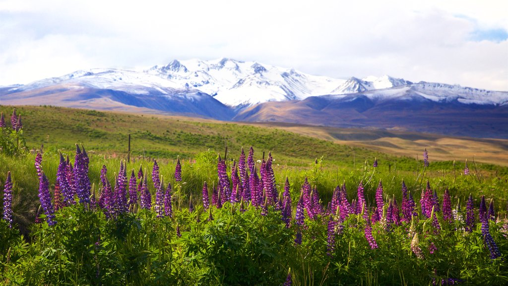 Lake Tekapo showing wildflowers, snow and tranquil scenes