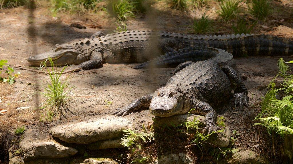 Parque Okefenokee Swamp mostrando animales peligrosos y animales del zoológico