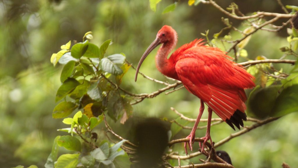Trinidad featuring zoo animals, forest scenes and bird life
