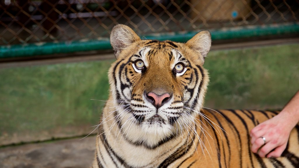 Phuket - Phang Nga featuring land animals, zoo animals and dangerous animals