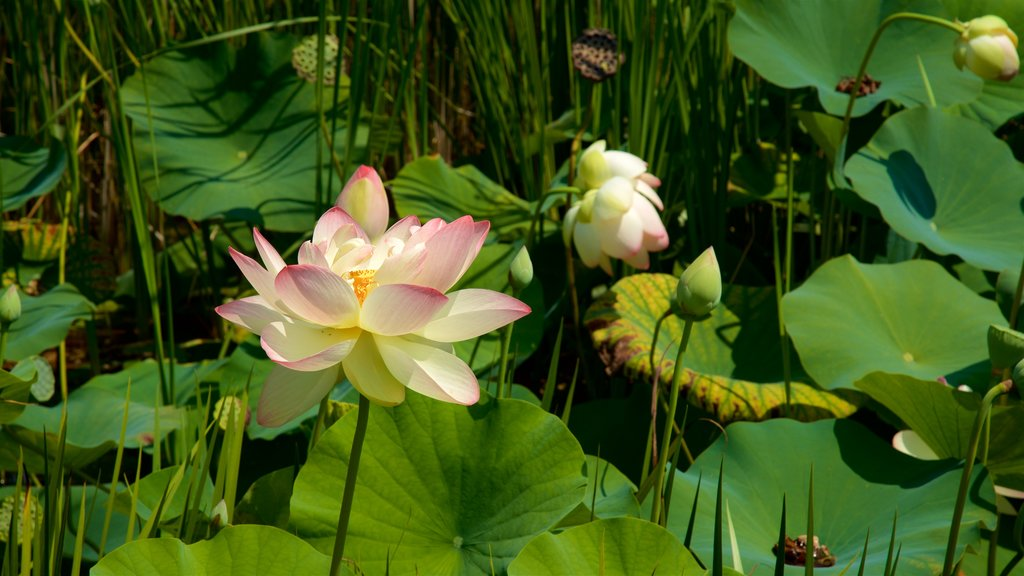 Reiman Gardens featuring wildflowers and a pond