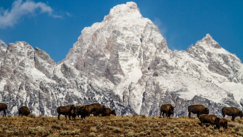 Jackson Hole which includes land animals, landscape views and mountains