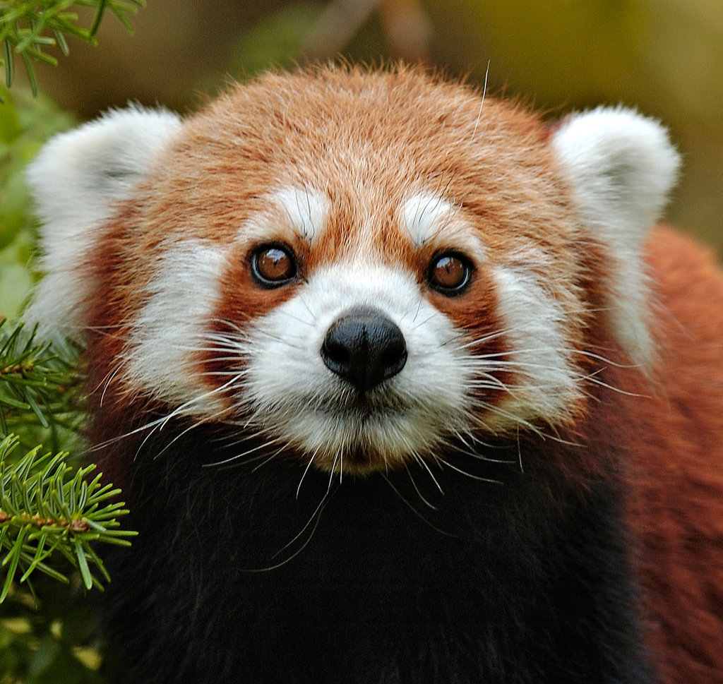 Panda Rosso (© Parco Natura Viva)