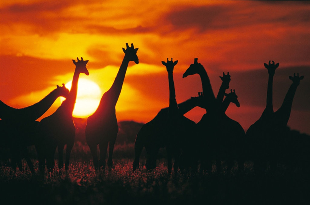 Alcune giraffe tra i suggestivi colori del tramonto - 10 safari in Africa da fare una volta nella vita - Photo credit Getty Images