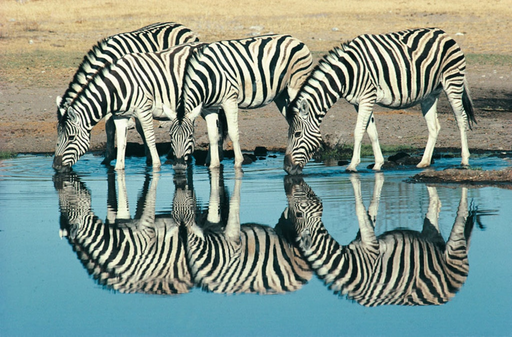 Etosha, Namibia, Alcune zebre bevono in una pozza d'acqua - 10 safari in Africa da fare una volta nella vita - Photo credit Getty Images