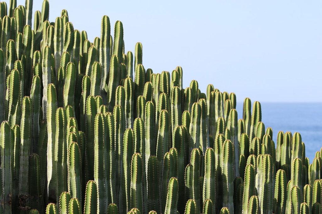 La vegetazione tipica nella maggior parte delle isole, soprattutto Lanzarote e Fuerteventura, è fatta di piante grasse.