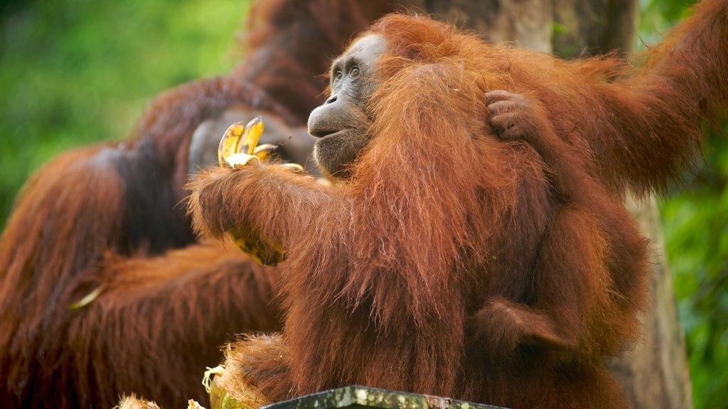 Semenggoh Wildlife Centre featuring zoo animals