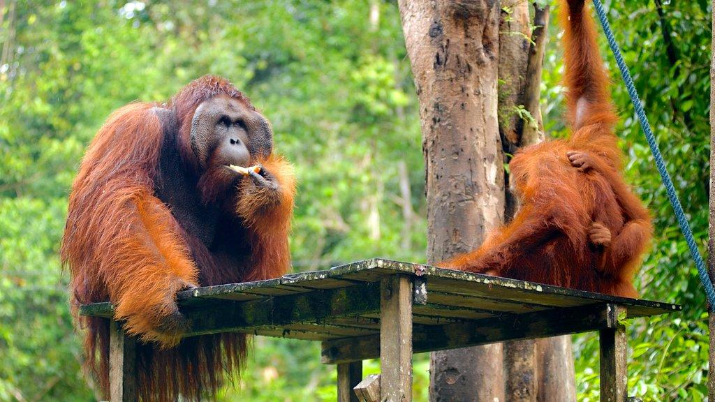 Semenggoh Wildlife Centre showing interior views, cuddly or friendly animals and zoo animals