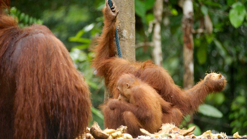 Semenggoh Wildlife Centre featuring zoo animals and land animals