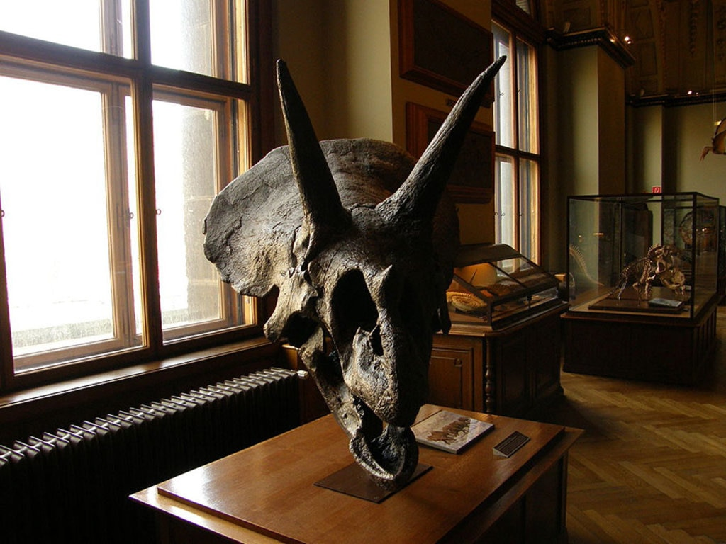 Al Museo di Storia Naturale di Vienna è possibili ammirare lo scheletro di triceraptops horridus. By frank wouters from antwerpen, belgium , België , Belgique - triceraptops horridus, CC BY 2.0, https://commons.wikimedia.org/w/index.php?curid=5588082