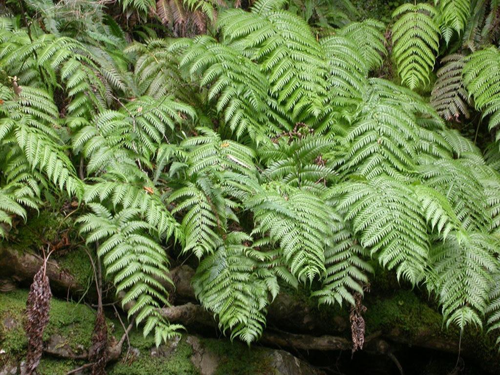 Esemplare di Woodwardia radicans che si trova nella Valle delle Ferriere. By Serdio (Own work)  , via Wikimedia Commons
