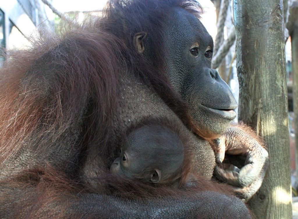 I gorilla della costa, presenti nello zoo di Barcellona, sono originari del Golfo di Guinea. Courtesy of © zoo Barcellona